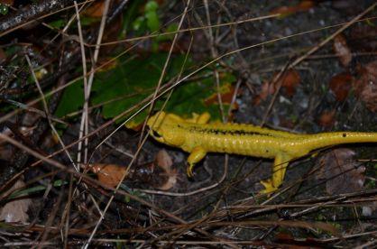 salamandre_jaune